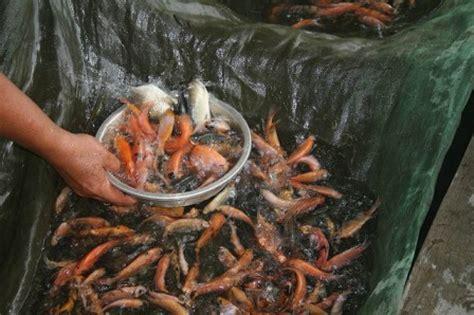 Jual Bibit Lobster Air Tawar Jawa Barat permintaan bibit ikan melonjak tajam aquaculture information