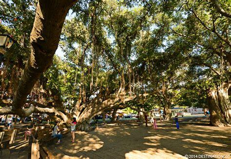 lighting of the banyan tree lahaina banyan tree park lahaina attractions banyan tree facts