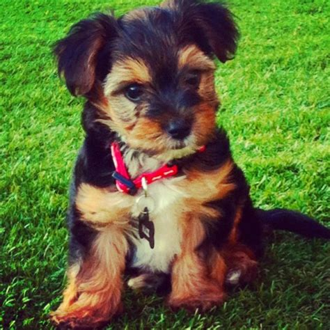 yorkie poo info general information on yorkie poos breeds picture