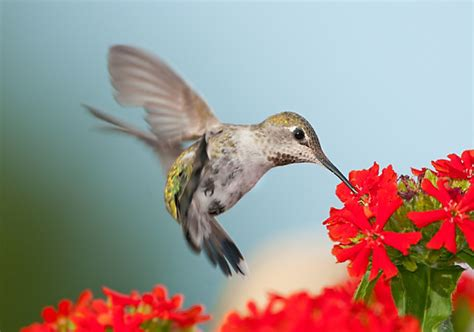 25 flowers that attract hummingbirds