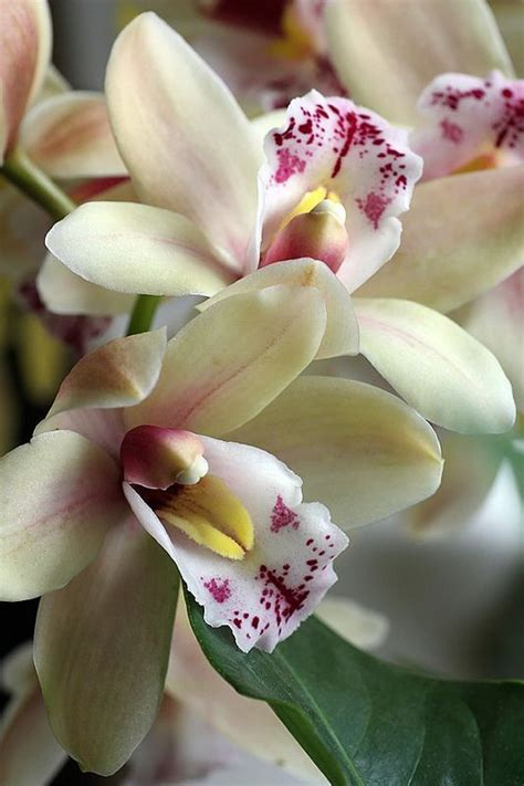 garden orchids and roses auf pinterest orchideen dfte cymbidium orchid orchid flowers pinterest bl 252 ten