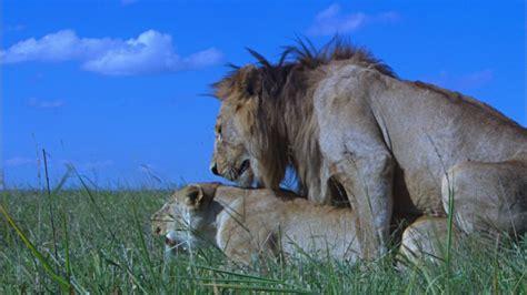 lion snarl profile