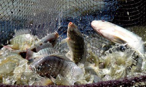 Benih Ikan Nila Per Kg berbagai cara pembenihan nila benihikan id