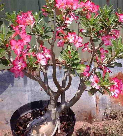 jenis tanaman hias bunga pilihan  mempercantik