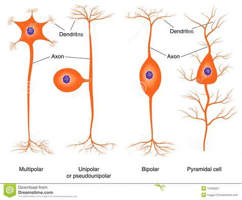 Imagenes Sensoriales De Forma Y Tamaño | ilustraci 243 n de los tipos b 225 sicos de la neurona ilustraci 243 n