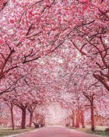 cherry blossom tree best 20 cherry blossom tree ideas on pinterest cherry blossom japan images of snow and