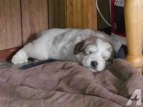 great pyrenees puppies for sale in great pyrenees puppies for sale for sale in chesaw washington classified