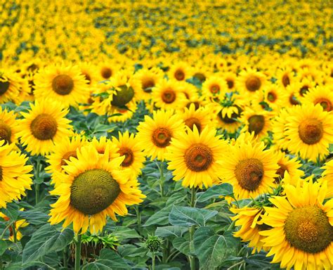 Home Interiors Usa sunflower field in tuscany italy more travels