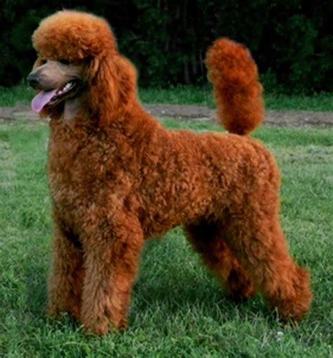 puppy cut poodle pictures of poodle haircuts hairstylegalleries