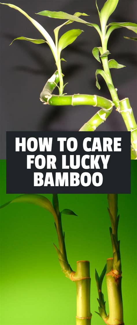 lucky bamboo care growing dracaena sanderiana