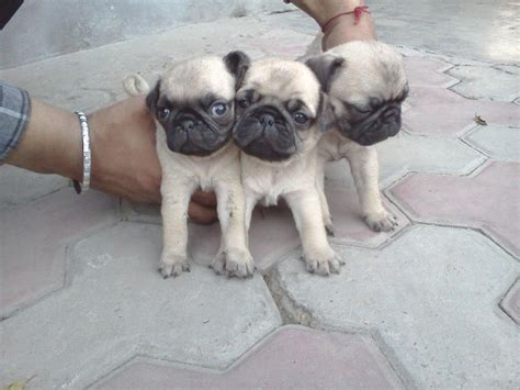 cost of pug in india pug price in india driverlayer search engine