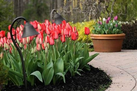 spring flowers  yard landscaping ideas  tulip bed