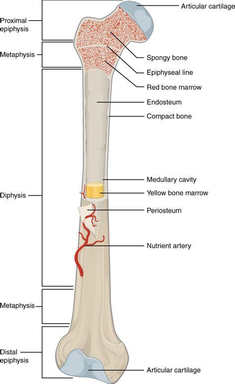longitudinal section of a long bone long bone wikipedia