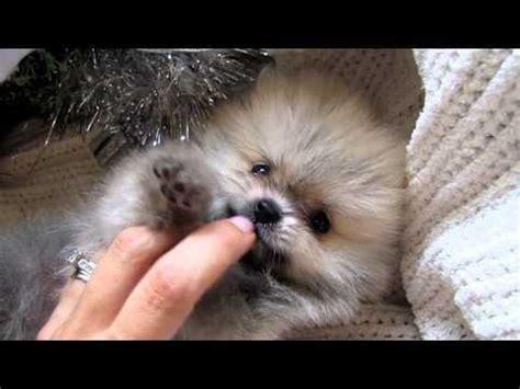 pomeranian air swimming teacup pomeranian puppy