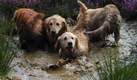are golden retrievers expensive why aren t golden retrievers more popular in the field shooting uk