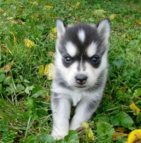 klee puppy 55 best images about klee s on siberian huskies cove and huskies puppies