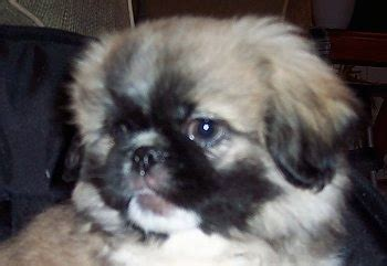 shinese puppies shinese breed information and pictures