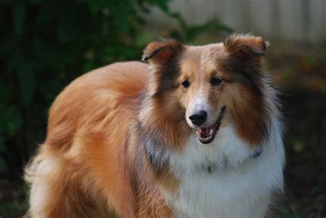 sheltie breed sheltie breed color wallpapers and images wallpapers pictures photos