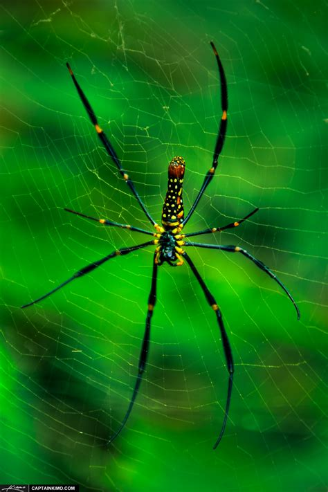 how much to buy a house in thailand arachnophobia large banana spider in phuket thailand