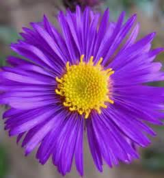flower homes asters flowers