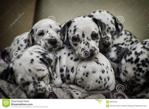 baby dalmatian puppies dalmatian puppy sleep stock photo image 58094090