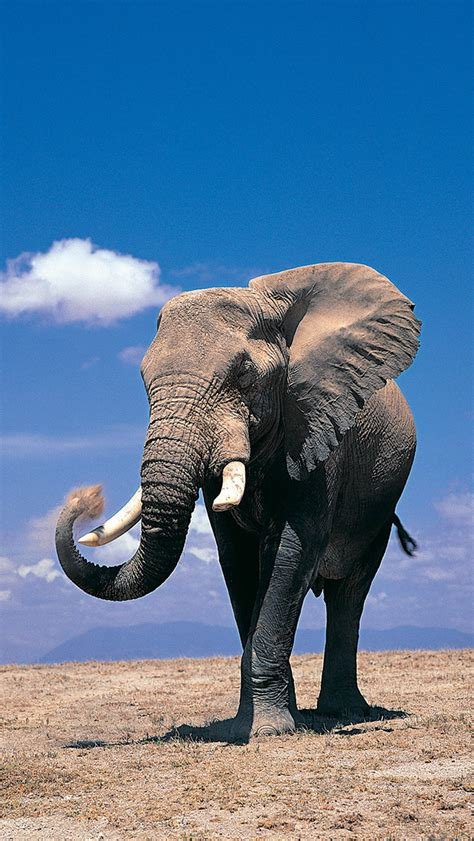 wallpaper iphone elephant elephant wallpaper for iphone x 8 7 6 free download