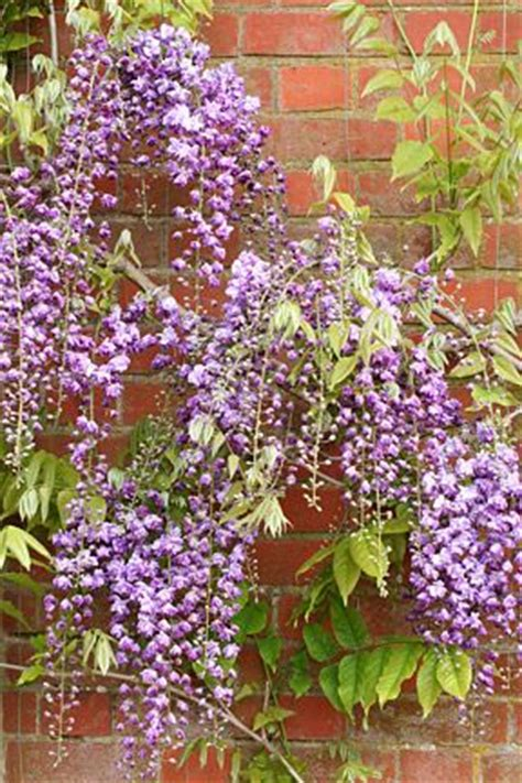 176 best images about wisteria on pinterest gardens