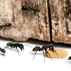 what attracts ants in the bedroom how to get rid of carpenter ants in bedroom www indiepedia org