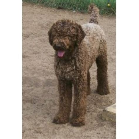labradoodle puppies wisconsin tinkerdoodle kennel labradoodle breeder in whitehall wisconsin