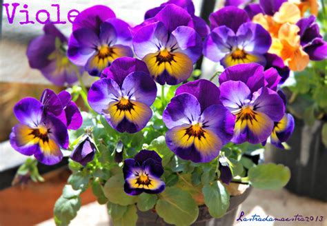 foto di fiori viole viole d 233 finition c est quoi
