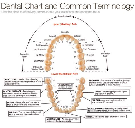 dental chart teeth numbering chart images