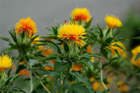 Balcony Patio by How To Grow Safflower Growing Safflower Guide