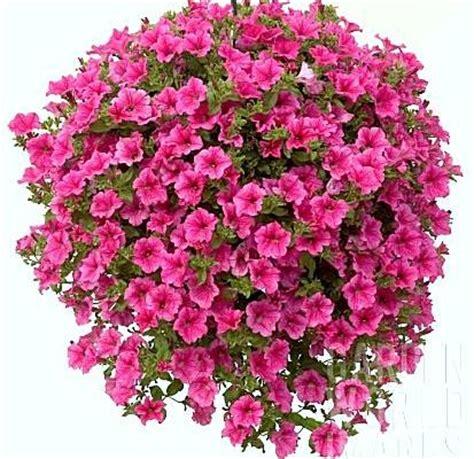 pianta da fiore piante da fiore archives ortovi