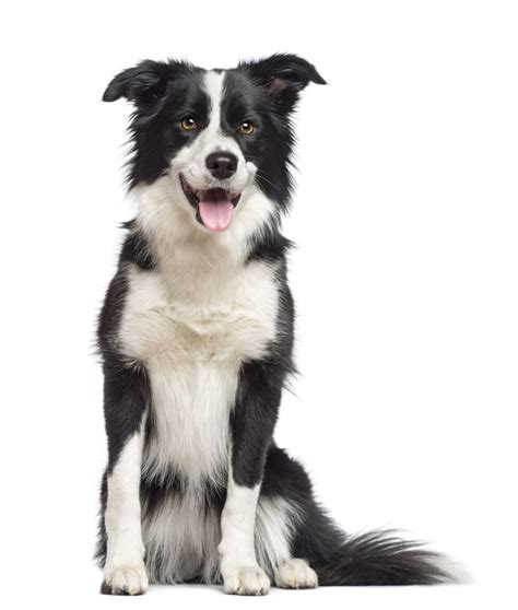 border collie and golden retriever unique characteristics of the border collie golden retriever mix