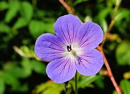 Bunga Morning Blue Wildflower pink petals in the morning summer free photos