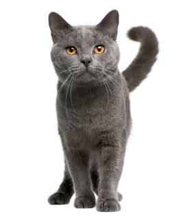 cat breed your cat ocicat cat breed profile cat breed profiles