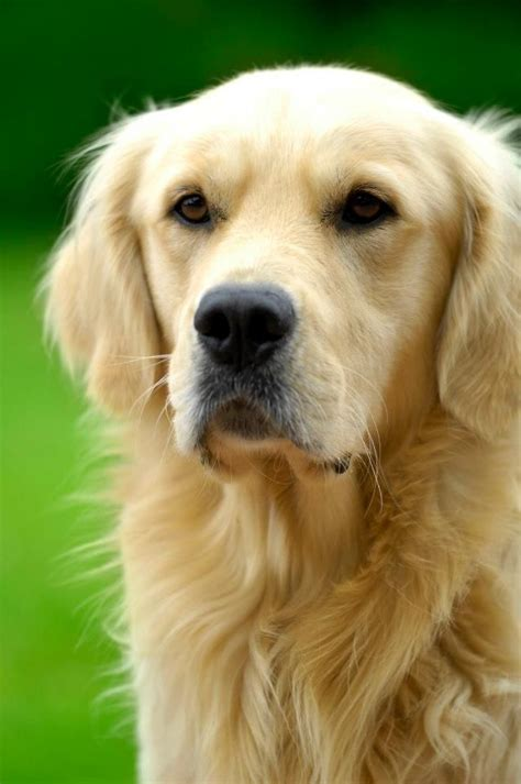 golden retriever diet 81 best images about golden retrievers on golden retriever rescue the