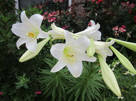 is an easter a perennial easter in the perennial bed you bet s