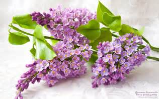 Lilac Flowers Lilac Flower Purple Photo 34733597 Fanpop