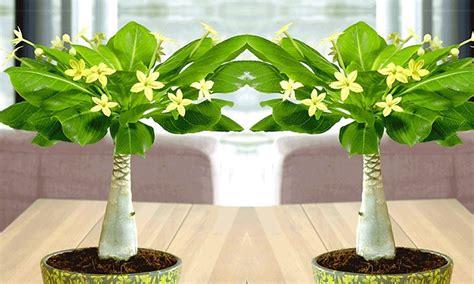 Lieferzeit Baldur Garten by Baldur Garten 2er Set Hawaii Palme Inkl Versand 20 Sparen