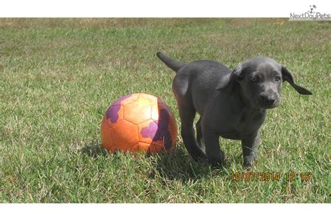 weimaraner puppies for sale in nc weimaraner puppy for sale near carolina 13106000 0a71