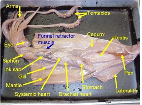 Squid Dissection Marine Science