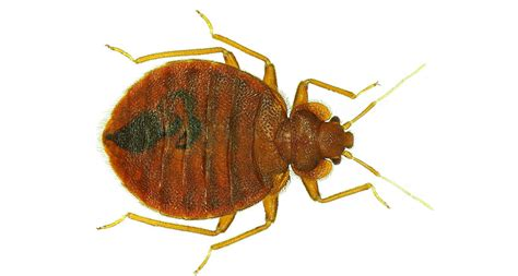 what color are bed bugs bed bugs have favorite colors science news for students