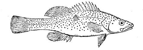 coloring pages of cod fish trout cod wiktionary