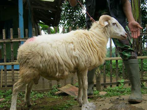 gambar keren gambar domba