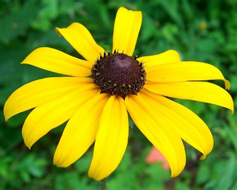 Search State Of Maryland Maryland State Flower Black Eyed Susan Proflowers
