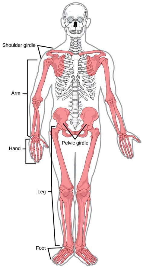 appendicular skeleton diagram human appendicular skeleton biology for majors ii