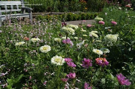 Matthaei Botanical Gardens Arbor Mi by Plantfiles Pictures Zinnia Benary S White Zinnia