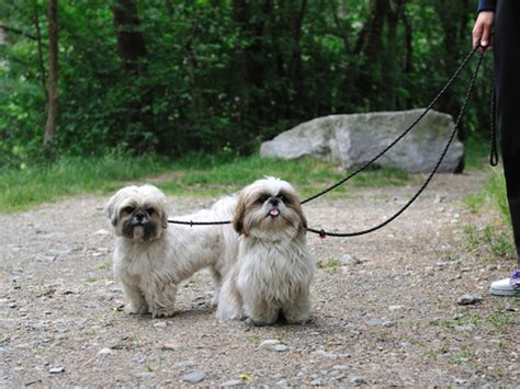 how to say shih tzu shih tzu how to get your to stop biting other shihtzu web