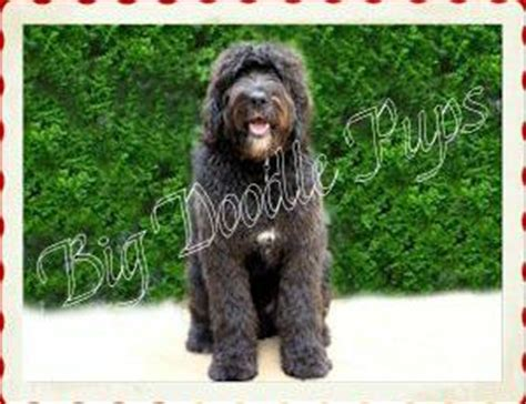 great doodle puppies for sale big doodle pups